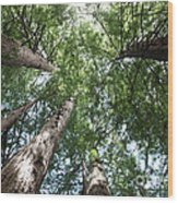 Redwoods Sequoia Sempervirens Wood Print