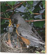 Robin Feeding Its Young Wood Print