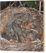 Robin Nestlings Wood Print