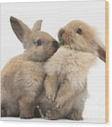 Sandy Rabbits Sharing Grass Wood Print