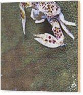 Spotted Porcelain Crab Feeding Wood Print