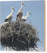 3 Storks In The Nest. Lithuania Wood Print