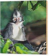 Thomas's Leaf Monkey Wood Print
