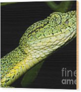 Two Striped Forest Pit Viper Wood Print