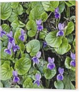 Viola Odorata (sweet Violets) Wood Print