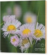 Wildflower Named Robin's Plantain Wood Print