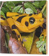 Harlequin Toad Wood Print