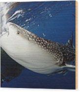 Whale Shark Feeding Under Fishing Wood Print