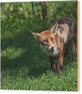 A British Red Fox Wood Print