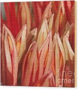 African Blood Lily Or Fireball Lily Wood Print