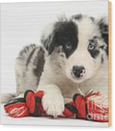 Border Collie Pup Wood Print