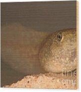 Bullfrog Tadpole Wood Print by Ted Kinsman