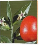 Butcher's Broom (ruscus Aculeatus) Wood Print
