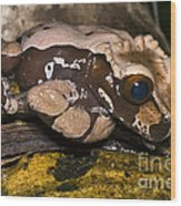 Crowned Tree Frog Wood Print