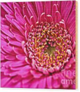 Gerbera Flower Wood Print