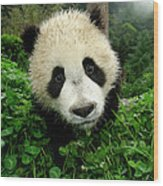 Giant Panda Ailuropoda Melanoleuca Wood Print by Katherine Feng