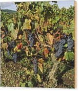 Grapes Growing On Vine Wood Print by Bernard Jaubert