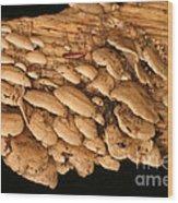 Luminescent Mushroom Panellus Stipticus Wood Print