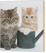 Maine Coon Kittens Wood Print