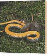 Northern Ringneck Snake Wood Print