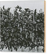 Photoperiodicity In Soybean Plants Wood Print