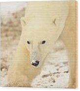 Polar Bear, Churchill, Manitoba Wood Print