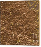 Potable Water Biofilm Wood Print by Science Source