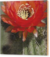 Red Cactus Flower Wood Print