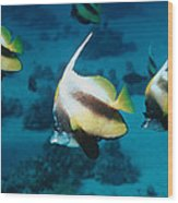 Red Sea Bannerfish Wood Print