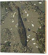 Rock Bass Wood Print