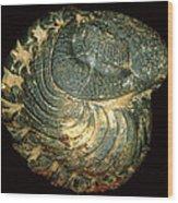 Trilobite Fossil Wood Print