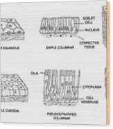 Types Of Epithelial Cells Wood Print