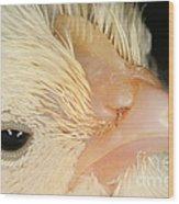 White Leghorn Chick Wood Print