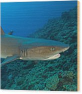 Whitetip Reef Shark, Kimbe Bay, Papua Wood Print