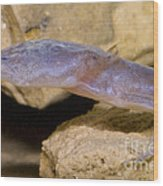 Austin Blind Salamander Wood Print