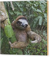 Brown-throated Three-toed Sloth Wood Print