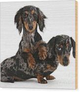 Dachshund Pups Wood Print