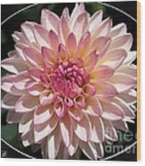 Dahlia Named Valley Porcupine Wood Print