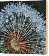Dandelion With Dew Drops Wood Print