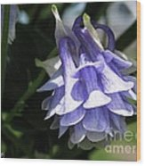 Double Columbine Named Light Blue Wood Print