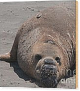 Elephant Seal Colony On Big Sur  Wood Print