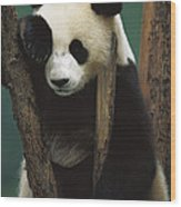 Giant Panda Ailuropoda Melanoleuca Wood Print