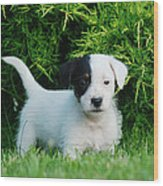 Jack Russell Terrier Puppy Wood Print