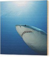 Male Great White Shark, Guadalupe Wood Print