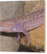 West Virginia Spring Salamander Wood Print