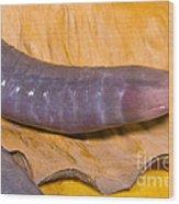 Congo Caecilian Wood Print