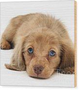 Dachshund Pup Wood Print