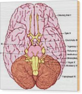 Illustration Of Cranial Nerves Wood Print