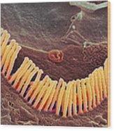 Inner Ear Hair Cells, Sem Wood Print