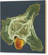 Neutrophil Engulfing Thrush Fungus, Sem Wood Print